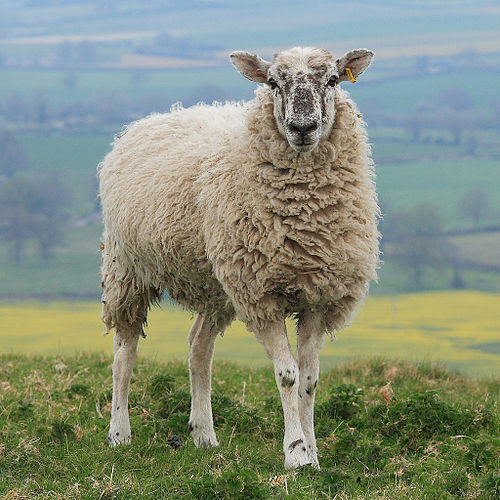Hambledon Hill Sheep