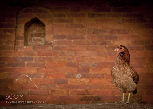 Potrait of Hen