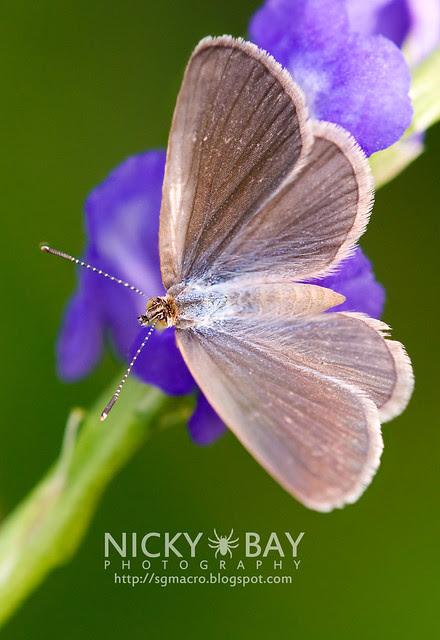 Lesser Grass Blue (Zizina otis) - DSC_9310