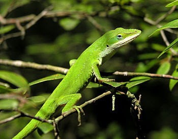 English: Commons:Category:Anolis carolinensis