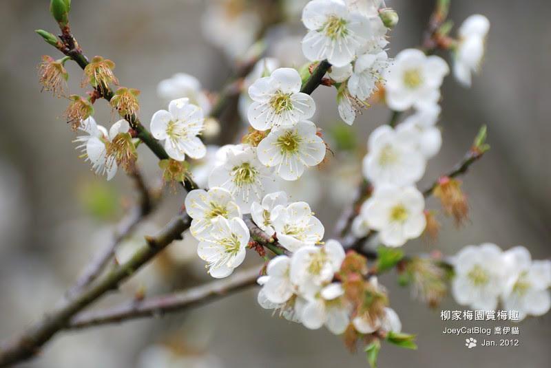 2012_0115_柳家梅園賞梅趣_3DSC_3845