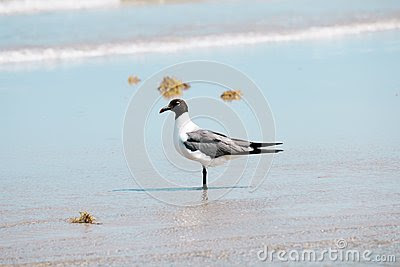 Stock Photo: Bonaparte Gull Near Shore