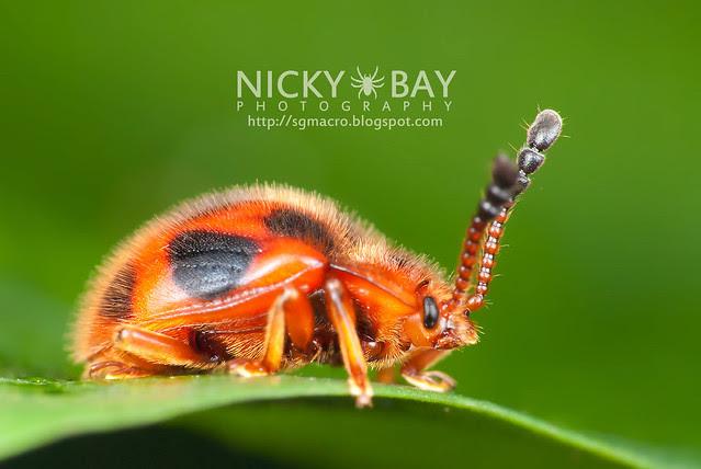 Ladybird-Mimic Beetle - DSC_8011