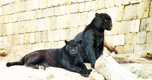 Две черные пантеры. Фото