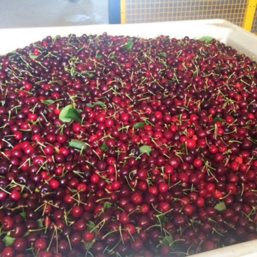 Cherry season crop set to be among biggest in Australian history