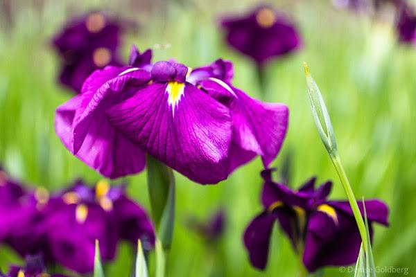 iris ensata