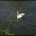 25-05-13 Derwent Swan