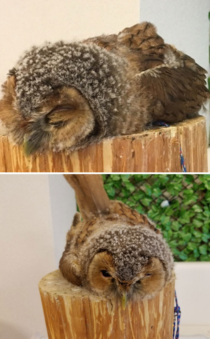 Turns Out, Some Young Owls Sleep Face Down, And The Photos ...
