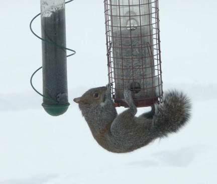 Squirrel acrobat on feeder HomeRome.com