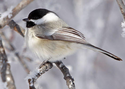 Bird Sounds and Songs of the Black-capped Chickadee | The Old Farmer's Almanac