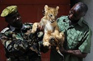Kenya Wildlife Service rangers Juma Baraka (L) and Samuel Induare examine a two-month-old lion cub at the KWS headquarters in Nairobi. The cats are finding themselves under growing pressure as one of Africa's fastest growing cities creeps onto ancient migration routes and hunting grounds. (AFP Photo/Simon Maina)