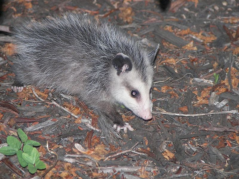 File:Young Possum.jpg