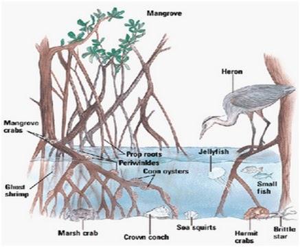 Rantai Makanan dan Siklus Energi Ekosistem Mangrove di ...