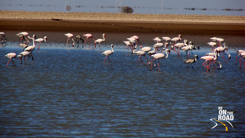 The extremely pretty looking lesser flamingoes at Little Rann of Kutch, Gujarat, India