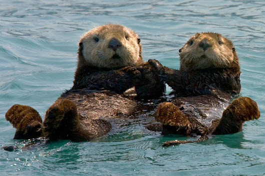 Otters Holding Hands | Sea Otters Facts