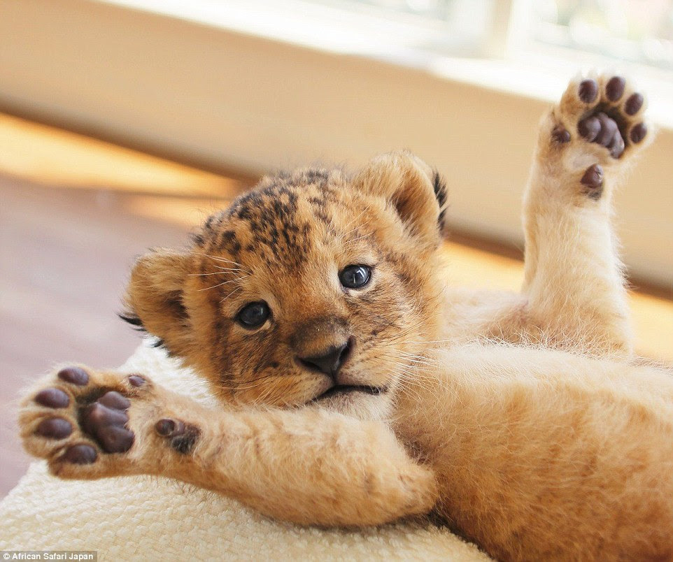 Me abrace!  Africano Safari tem um zoológico, onde os visitantes podem realmente ter suas fotos tiradas com a criatura peluda - por enquanto