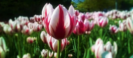 Heralds of Spring and Gratitude – The Tulip