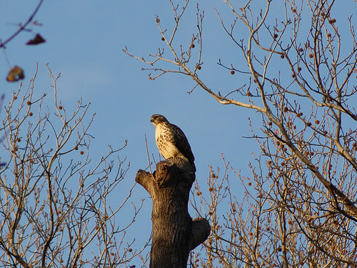 Juvenile Red-Tail in Central Park's North Woods