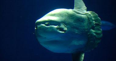 """نفوق إحدى أسماك """"مولا مولا"""" على شواطئ نورفولك"""