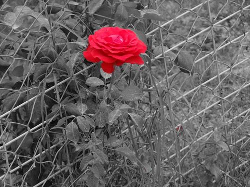 Rosa Roja Fondo Blanco Y Negro A Photo On Flickriver