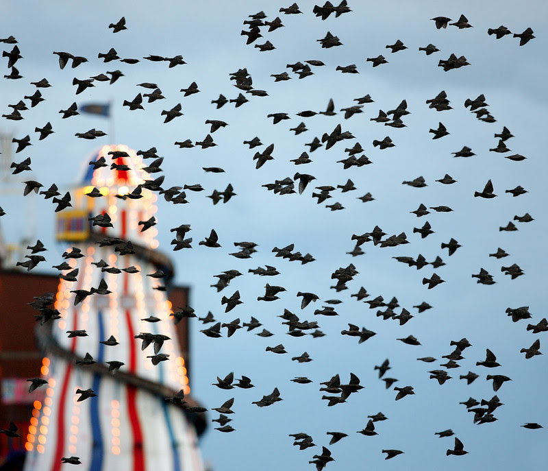 Starlings and Helter Skelter