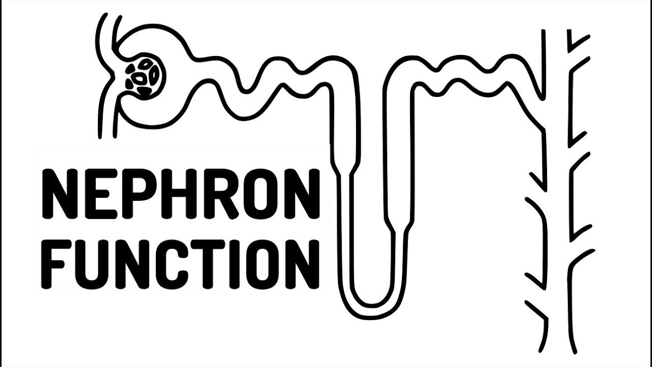 FUNCTION OF THE NEPHRON made easy!! - YouTube