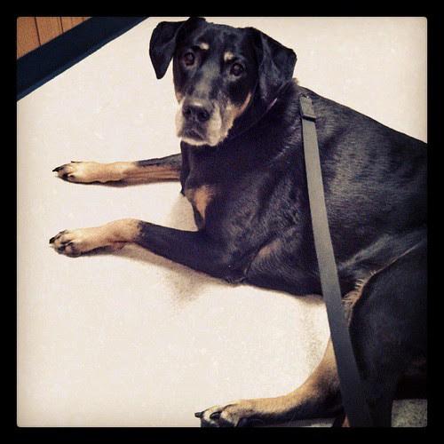 Trip to the vet #dogstagram #dobermanmix
