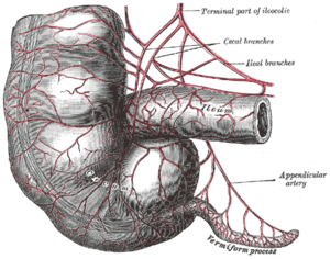 Arteries of cecum and vermiform process.