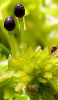 Moss Phagnum falcatulum