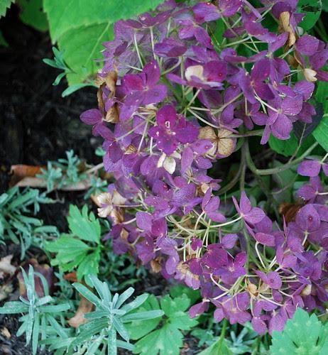 purple hydra