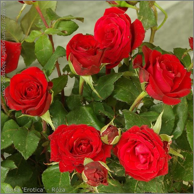 Rosa 'Erotica' - Róża 'Erotica'