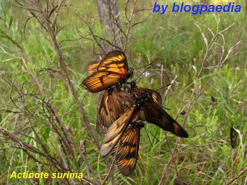 Agrupamento de Actinote surima