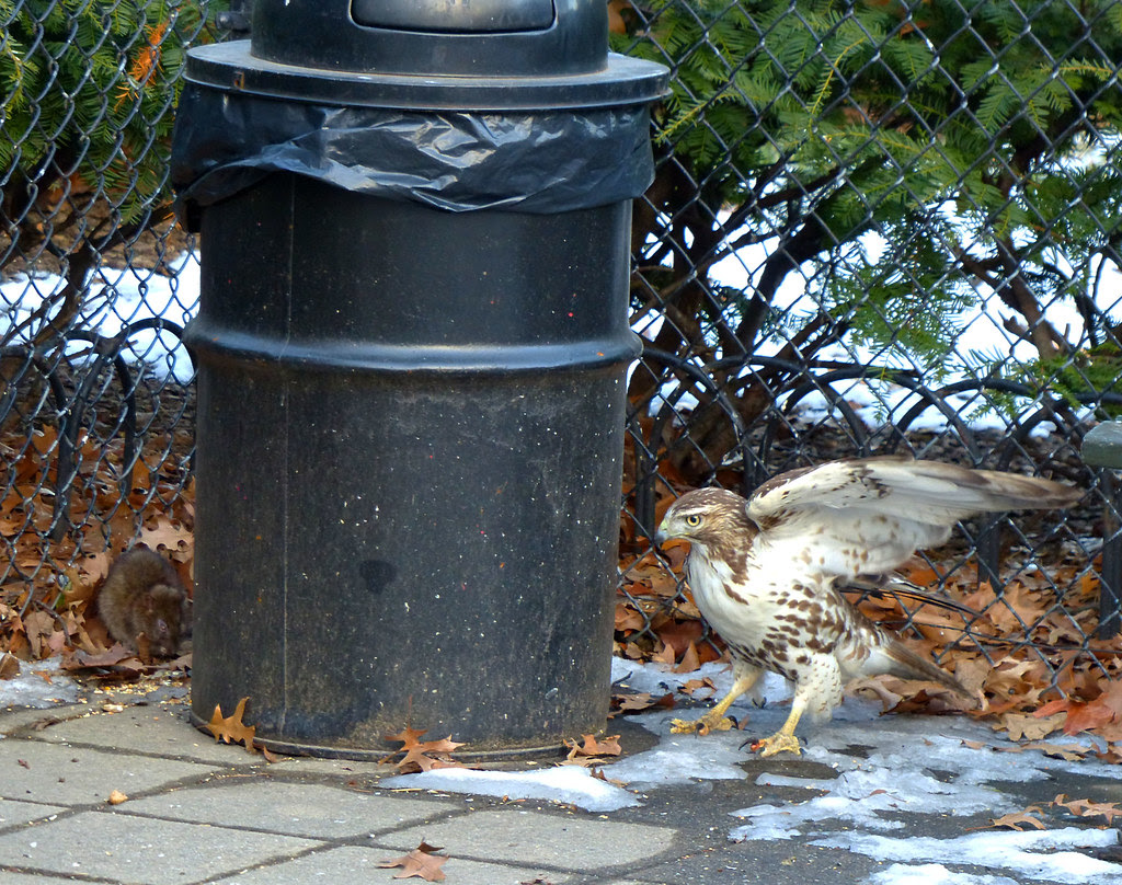 Red tail chasing after a rat in Tompkins Square