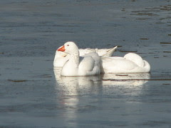 the geese that aren't snow geese