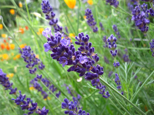 7 Reasons to Like Lavender