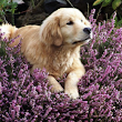 Dog Health Care: Are Essential Oils Safe for Your Furry Friend? - Essential Oil Diffuser