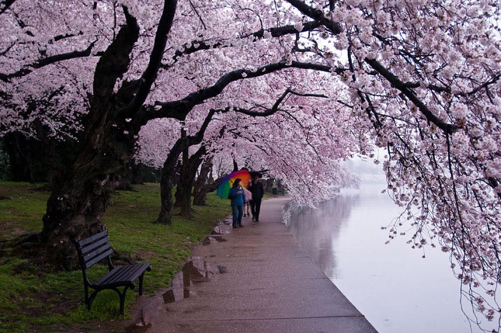 As floradas de cerejeiras mais bonitas em todo o mundo 06