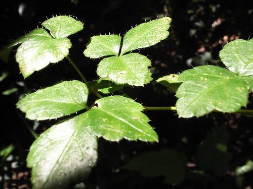 葉子上面有小細毛