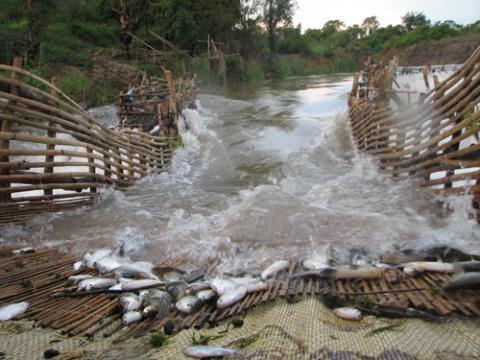 Cá là nguồn dinh dưỡng chính sông Mekong cung cấp cho cư dân sinh sống hai bên bờ. Các con đập thủy điện sẽ  đe dọa nghiêm trọng đến nguồn tài nguyên này - Ảnh: International Rivers