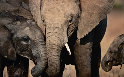 Surprise! Elephants Have Been Listening to and Judging Us By Our Voices