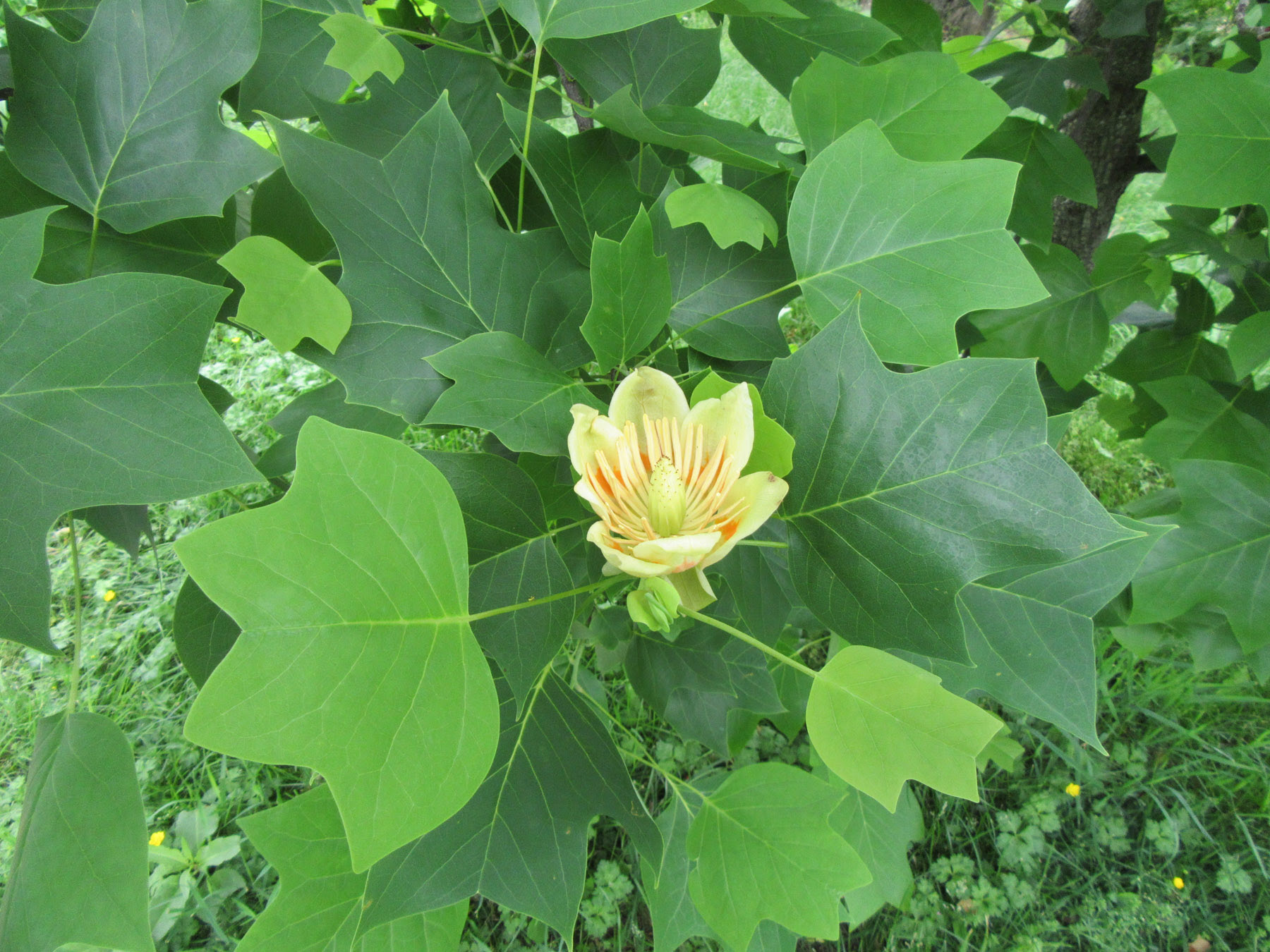 Dekorte Tulip Tree In Bloom The Meadowlands Nature Blog
