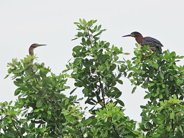 Green Herons 20130803