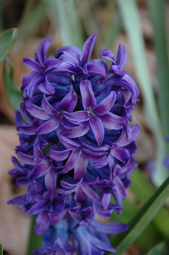 Heirloom Hyacinth 'King of the Blues'