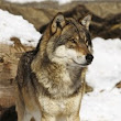 CAP Loup | Collectif des Associations pour la Protection du Loup en France