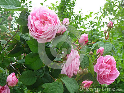 Stock Photo: Beautifully blooming roses