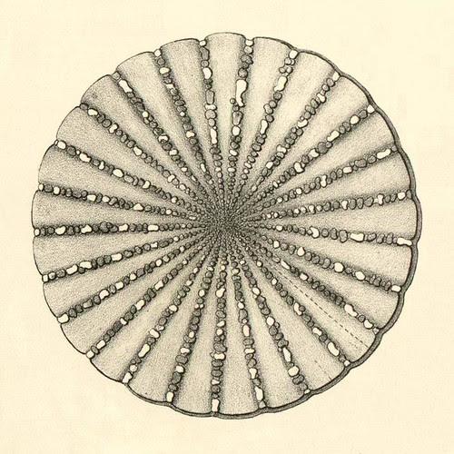 detail - Agassiz - echinoderm anatomy