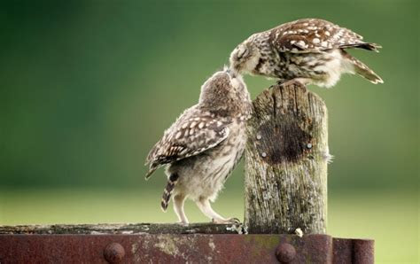 owls love wallpapers
