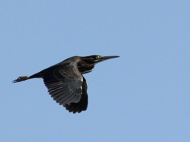 Green Heron in flight 20120717