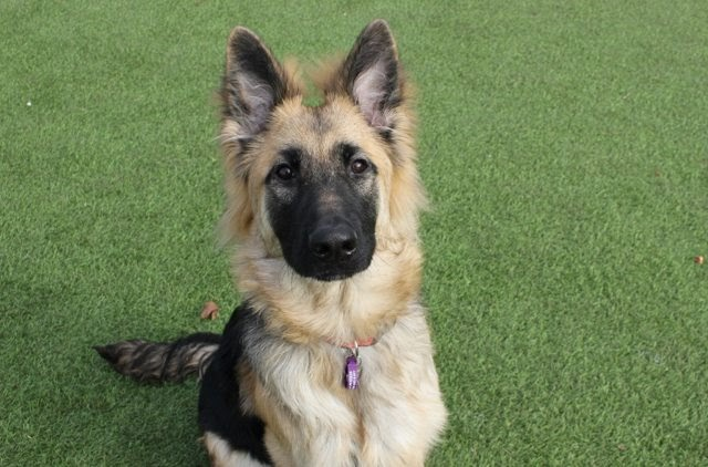 Chase – 8 month old male German Shepherd Dog