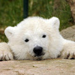 Stop Trafficking in Polar Bear Products - The Petition Site